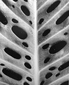 Leaf by Brett Weston, 1978.