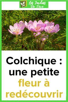 Colchique: une petite fleur à redécouvrir Plants