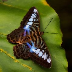 The clippers (Parthenos) are a genus of butterflies found in Southeast Asia. This species, the Parthenos sylvia is widespread in that part of the world.  Michael Eaddy