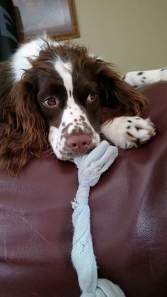 Looks like a legitimate dog toy, but this Springer Spaniel looks a little guilty. Baby Puppies, Cute Puppies, Cute Dogs, Springer Spaniel Puppies, English Springer Spaniel, Spaniel Breeds, Dog Breeds, Love Pet, I Love Dogs