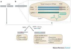 Genome engineering using the CRISPR-Cas9 system.