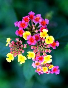 always have lantana somewhere in the summer
