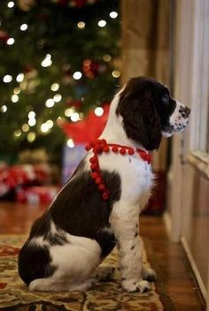 Nobody told him - Santa comes down the chimney!   #dog #xmas