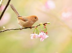 Smiling parrotbill  by Mirror_Lake on Flickr