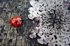 Ladybird and lichen