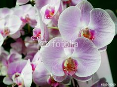 """Download the royalty-free photo """"The close up of beautiful purple orchid flowers on branch."""" created by phasuthorn at the lowest price on Fotolia.com. Browse our cheap image bank online to find the perfect stock photo for your marketing projects!"""