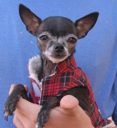 Tiny, 3-pound Denise was found in the middle of the night in a neighborhood with no sign of responsible ownership. The person who found her checked with all of the neighbors, to no avail. Denise is a Chihuahua, 9 years of age, calm-natured and good with other dogs, and debuting for adoption today at Nevada SPCA (www.nevadaspca.org). Please help find her a stable home where she will be dearly cherished.