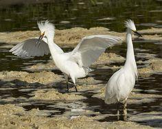 Egrets in Sea-Foam https://www.facebook.com/bruce.frye.photography/