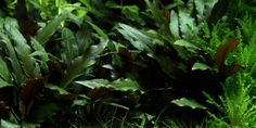 Cryptocoryne beckettii 'Petchii' - Tropica Aquarium Plants might be good for upper levels.