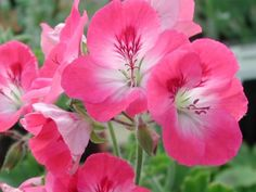 Picture of  Pelargonium Pink Hindoo from Fibrex Nurseries.  Wow factor!