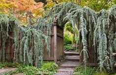 Weeping Blue Atlas Cedar (Cedrus atlantica 'Glauca 'Pendula') trained over entry gate and pathway to California garden