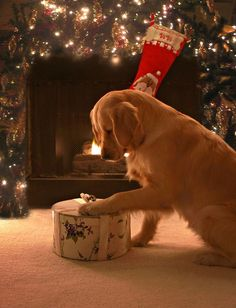 Golden retriever with a present on christmas