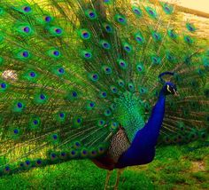 My uncle Roy had peacocks when I was growing up. My mom always had an arraingement with their feathers.