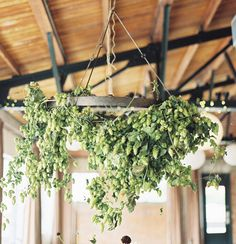 hanging chandelier of greens - i think these are hops, they grow locally and are inexpensive... harvest from JP's yard?