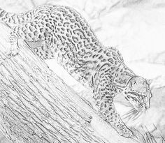 Ocelot in Black and White Zoo Animal Coloring Pages, Cat Coloring Page, Ocelot, White Pencil, Zoo Animals, Colored Pencils, Animal Pictures, Black And White, Cats