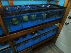 Swordtail Guppies: Phenotypical Expressions Within My Panda Moscow Strain Aquarium Fish Store, Aquarium Setup, Betta Breeding, Bacterial Diseases, Saltwater Fish Tanks, Racking System, Guppy, Aquaponics, Hammocks