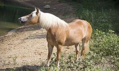 El caballo doméstico y su introducción en Europa - http://www.noticaballos.com/caballo-domestico-introduccion-europa.html
