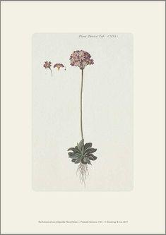 Smukt afbilledet melet kodriver fra det botaniske værk Flora Danica,