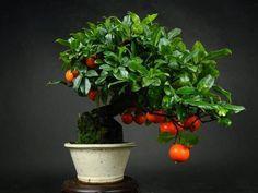 Como hacer bonsai del arbol de papaya - Mask'ana Google