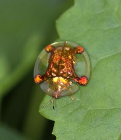 Tortoise Beetle - I never thought a bug could be cute Beautiful Creatures, Animals Beautiful, Tortoise House, Tortoise Shell, Cool Bugs, A Bug's Life, Beetle Bug, Beautiful Bugs, Animales