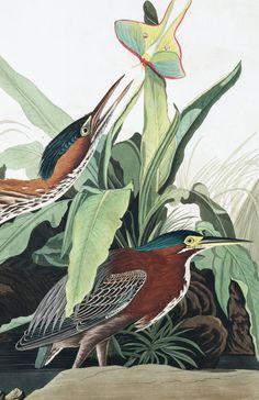 DYK you can get high-resolution files for Audubon Prints? For FREE Audubon Prints, Audubon Birds, Bird Illustration, Botanical Illustration, Birds Of America, John James Audubon, Colorful Wall Art, Wildlife Art, Bird Prints