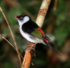 The pin-tailed manakin (Ilicura militaris) is a species of bird in the monotypic genus[citation needed] Ilicura of the family Pipridae. It is endemic to Brazil.