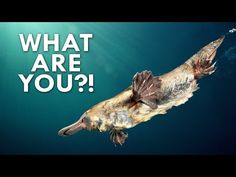 Everything about the Platypus is Weird - YouTube