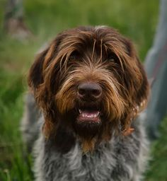Wirehaired Pointing Griffon ~ Classic Look ~ Thorn Creek Kennel