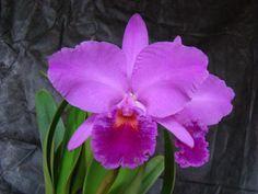 """A """"Cattleya Labiata"""" é uma orquídea muito conhecida entre os brasileiros e por aqui é carinhosamente chamada de """"Rainha do Nordeste"""". Suas flores surgem justamente no verão e são lindas, além de exalarem um delicioso perfume. Em tons de lilás e roxo com um pouco de azul, deixa a decoração muito mais bonita."""
