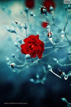 Liverwort Flower | OBRAZKI CZERWONY KWIAT RÓŻY