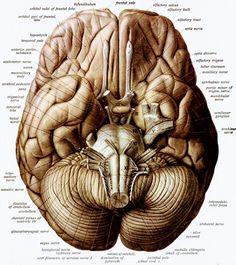 human body organs and skeletal images | tempat untuk dikunjungi, Muscles