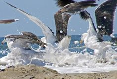 """Splash-Photograph of Seagulls-11"""" by 14"""" matted print. Ready to frame.  Jersey Shore seagulls doing their thing! $25.00"""
