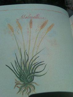 La flor de Malinalli, del códice de la Cruz Badiano