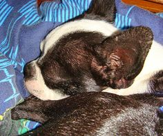 Northeast Boston Terrier Rescue: Lang Syne the Pack Rat Boston Terrier Rescue, Boston Terriers, North Augusta, American Dog, Pictures Of You, Rats, Best Dogs, Cute Dogs, Homes