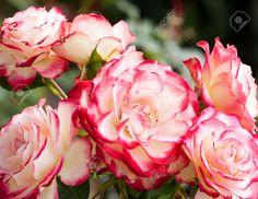 25959467-Incantevoli-e-romantici-fiori-di-Rosa-Archivio-Fotografico.jpg (1300×1003)