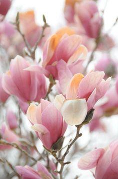 Magnolia Tulip Tree / La vie en rose