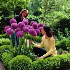 "Allium 'Globemaster' - Alliums are nicknamed ""Ornamental Onions."" - The flowers (which are spheres formed of a whole lot of tightly packed tiny flowers called florets) can be softball to volleyball sized on stems up to three feet tall. They bloom in May to June. I don't know where I'd put these in my small yard but I'd love to grow them someday!"