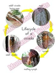 Life cycle of a cicada, printables Science Ideas, Science For Kids, Science Classroom, Science Education, Mini Beasts, Spring Theme, Nature Study, Environmental Science, Grade 2