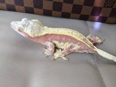 Male pink and yellow harley, owned by the Minagerie. Reptile Room, Reptile Cage, Reptile Enclosure, Cute Reptiles, Reptiles And Amphibians, Cute Wild Animals, Baby Animals, Crested Gecko Care, Baby Skunks