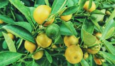 Dwarf fruit trees look great growing in containers and produce delicious, fresh fruit. These are the 11 best fruit trees to grow in containers and pots. Citrus Trees, Fruit Trees, Kombucha, Container Gardening, Gardening Tips, Lemon Plant, Juice Diet, Juice Cleanse, Detox
