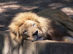 A lazy lion--looks so cudly, doesn't he?