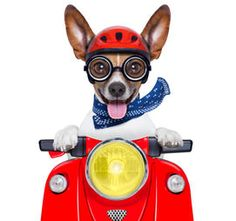 Jack Russell Photographic Print: Crazy Silly Motorbike Dog by Javier Brosch : - Perros Bull Terrier, Chien Bull Terrier, Pitbull Terrier, Dog Helmet, Jack Russell Terriers, Jack Russells, White Terrier, Family Dogs, Stick It Out