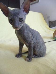 Cornish Rex Kitten! I WILL get one someday :)
