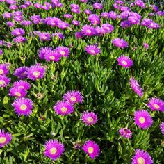 NATIVE PIGFACE - Garden Express