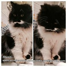 THE DAVINCI FOUNDATION FOR ANIMALS RESCUE ACROSS THE NATION: / GLOBAL Rescue Info (PLEASE TRANSLATE) RED - Urgencias Gatos: 2ª DIFUSION! BCN, Shanti, preciosa gatita persa 4 años en adopción!!!