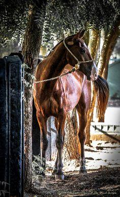 "Anxiously Waiting-3854 http://AgainstTheWindImages.zenfolio.com/horsespirit ""horse portraits"", ""horse spirit"", ""spirit horse"", ""stallions of Casa de Campo"", #Eqous, #horseportraits #horsespirit #spirithorse #StallionsofCasadeCampo #equos #JDecastro~AgainstThewindImages #AgainsttheWindImages, #horses"
