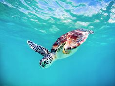 baby sea turtle hawaii by michael sweet Baby Sea Turtles, Cute Turtles, Turtle Baby, Beautiful Creatures, Animals Beautiful, World Turtle Day, Turtle Love, Ocean Creatures, Marine Life