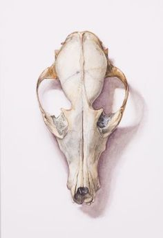 Saara Vainio: Ketun kallo / Skull Of A Fox. Watercolour, 17 x 25 cm.  2010