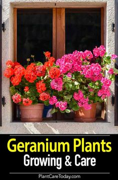 "Geranium Care How To Grow And Care For Geranium Plants is part of Geranium plant - Geranium care The plant most of us know as a ""geranium"" is actually a Pelargonium Quite attractive and useful, it is not a true geranium [LEARN MORE] Pruning Geraniums, Geraniums Garden, Potted Geraniums, Geranium Care, Wild Geranium, Geranium Flower, Geranium Oil, Container Flowers, Container Plants"