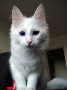 Beautiful white Turkish Angora
